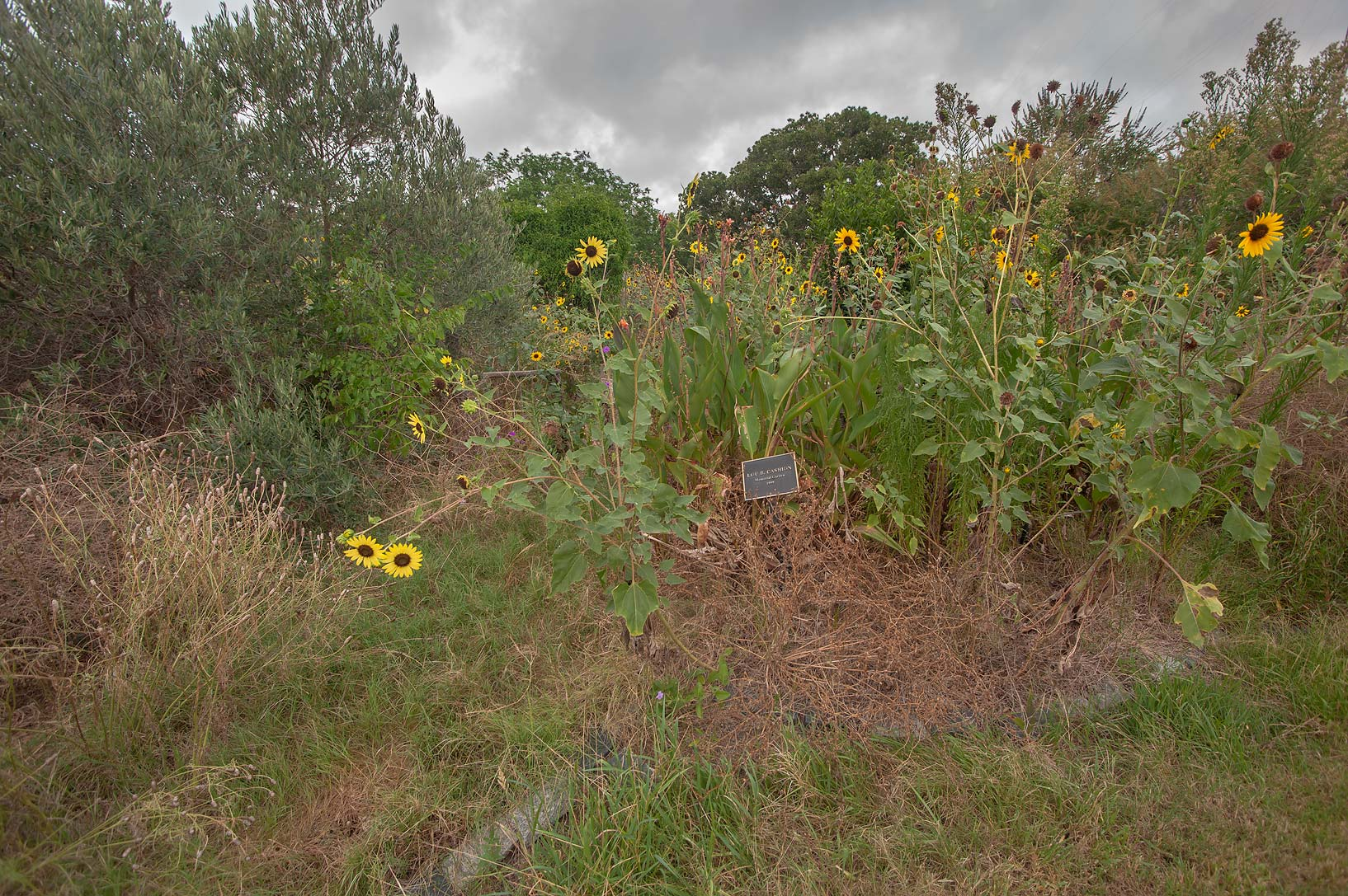 Sunflowers spreading over Lou Cashion Memorial...M University. College Station, Texas