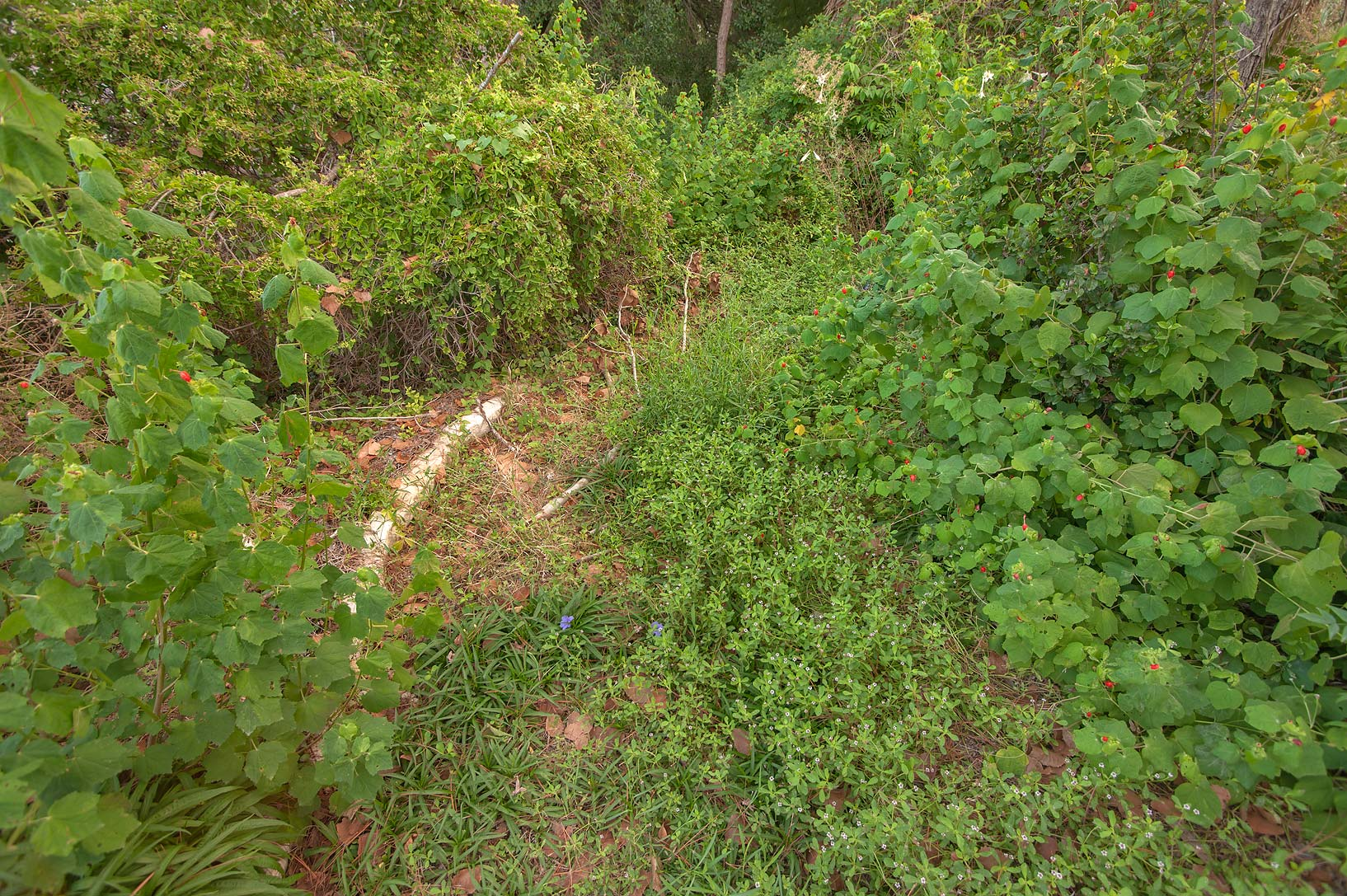 Overgrown path in TAMU Horticultural Gardens in...M University. College Station, Texas