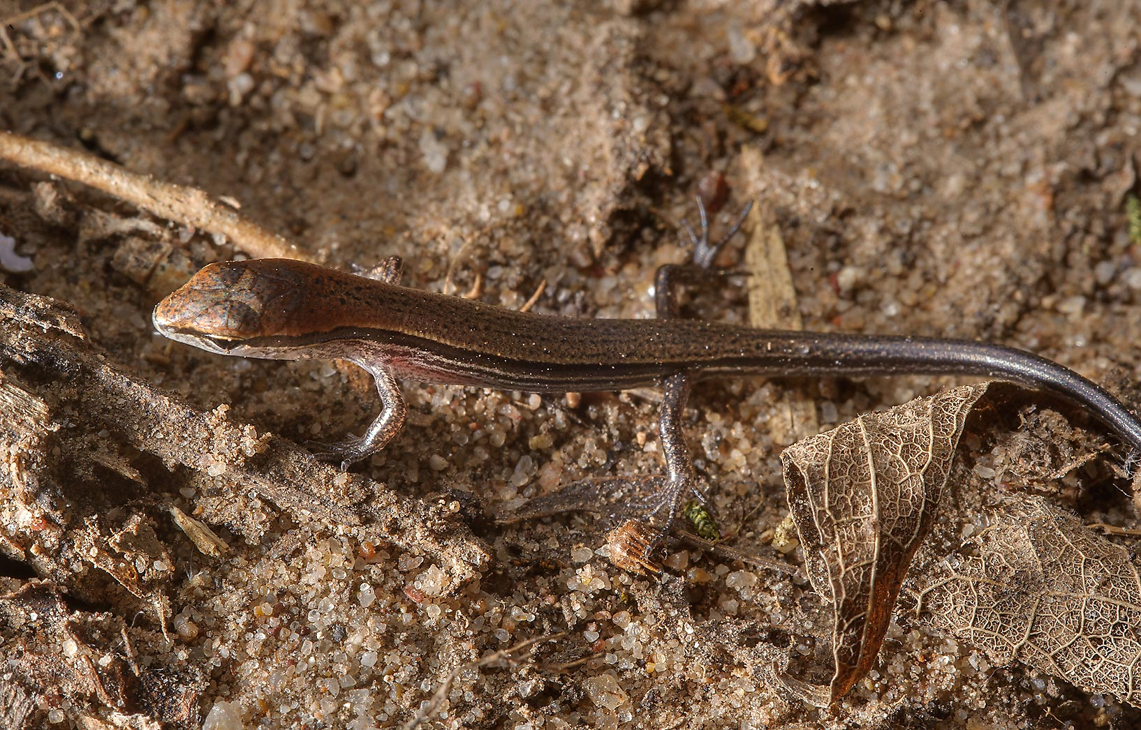 Ground skink (Scincella lateralis) lizard on a...State Historic Site. Washington, Texas