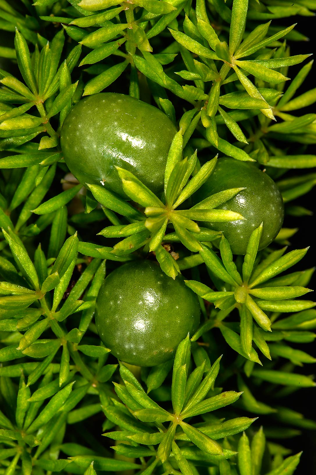 Green berries of asparagus fern (Asparagus...M University. College Station, Texas