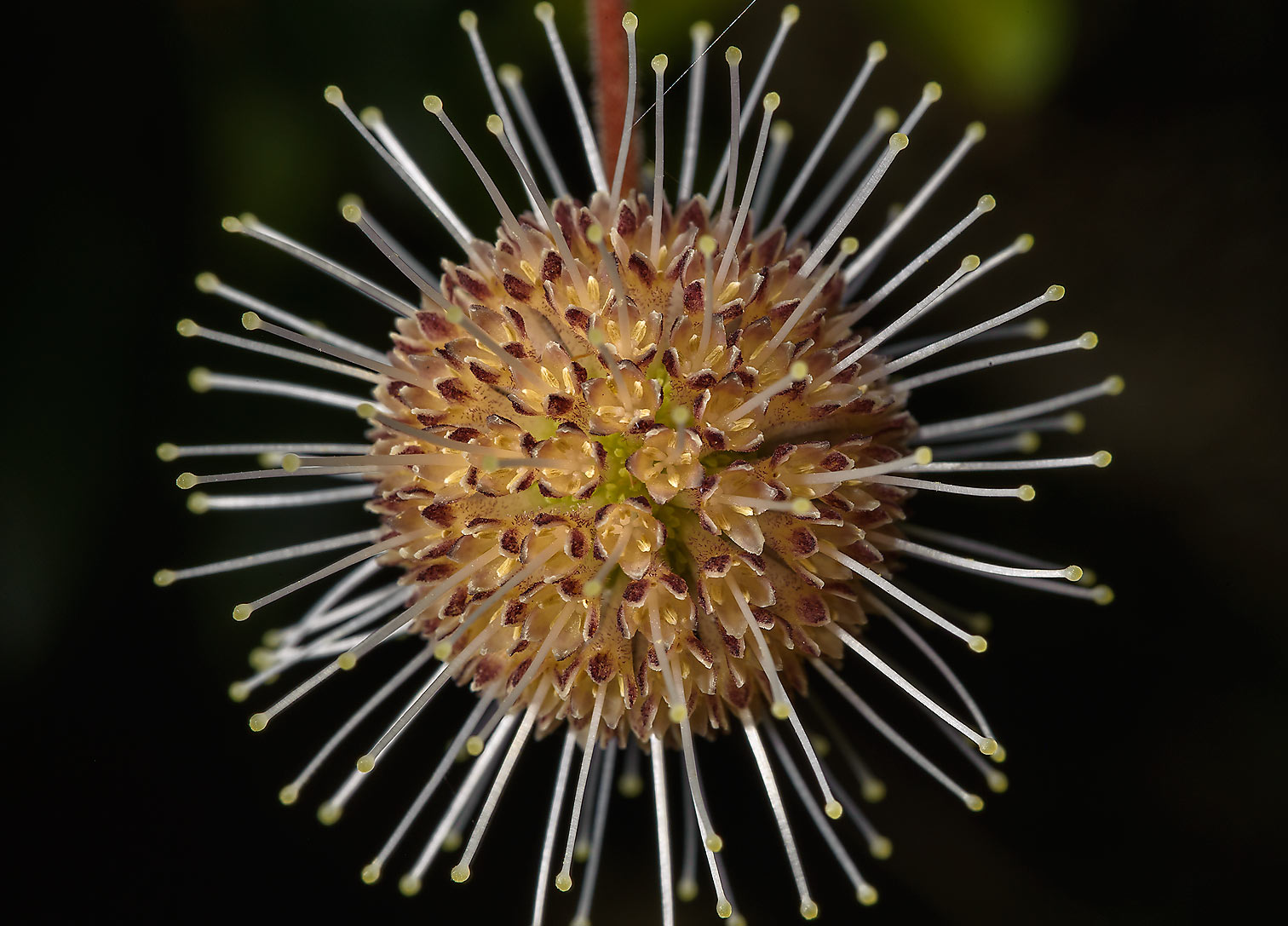 Buttonbush like flowers (Cephalanthus ) in Antique Rose Emporium. Independence, Texas