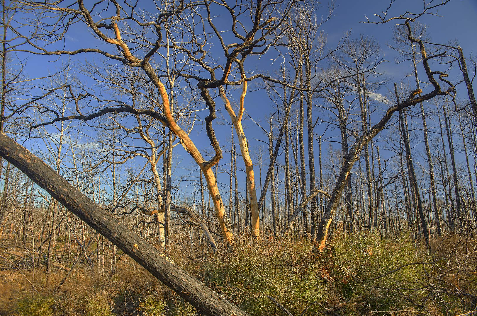 Group of burnt oaks in Bastrop State Park. Bastrop, Texas
