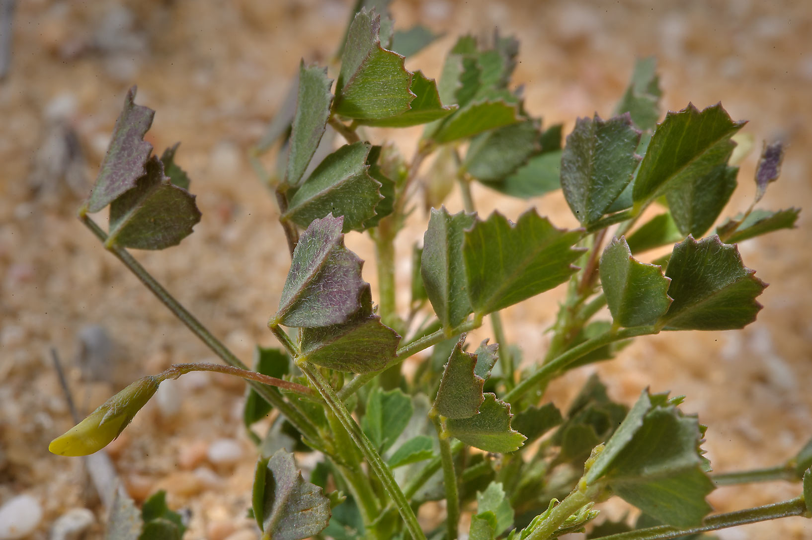 Star Fenugreek (Trigonella stellata) or Medicago...road to Saudi Arabia in southern Qatar