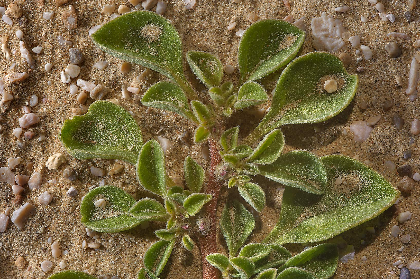 Seedling of a desert plant Aizoon canariense near...to Sawda Natheel in southern Qatar