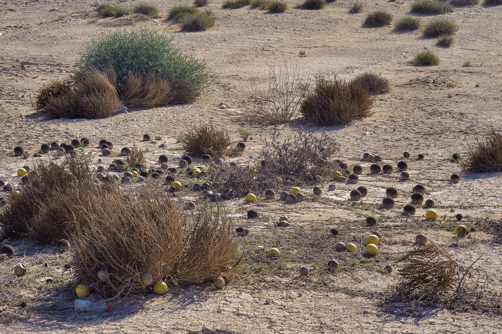 Field of rotten desert gourd (Citrullus...of Abu Samra Rd. in southern Qatar