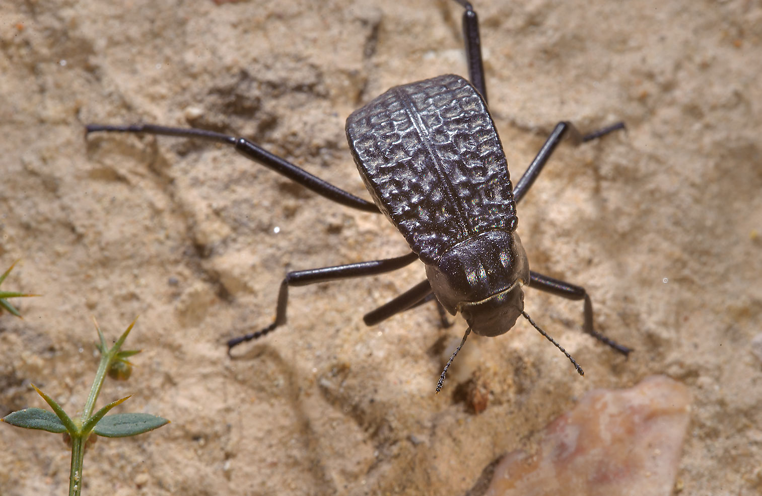 Pitted darkling beetle (Adesmia cancellata) in Trainah in southern Qatar