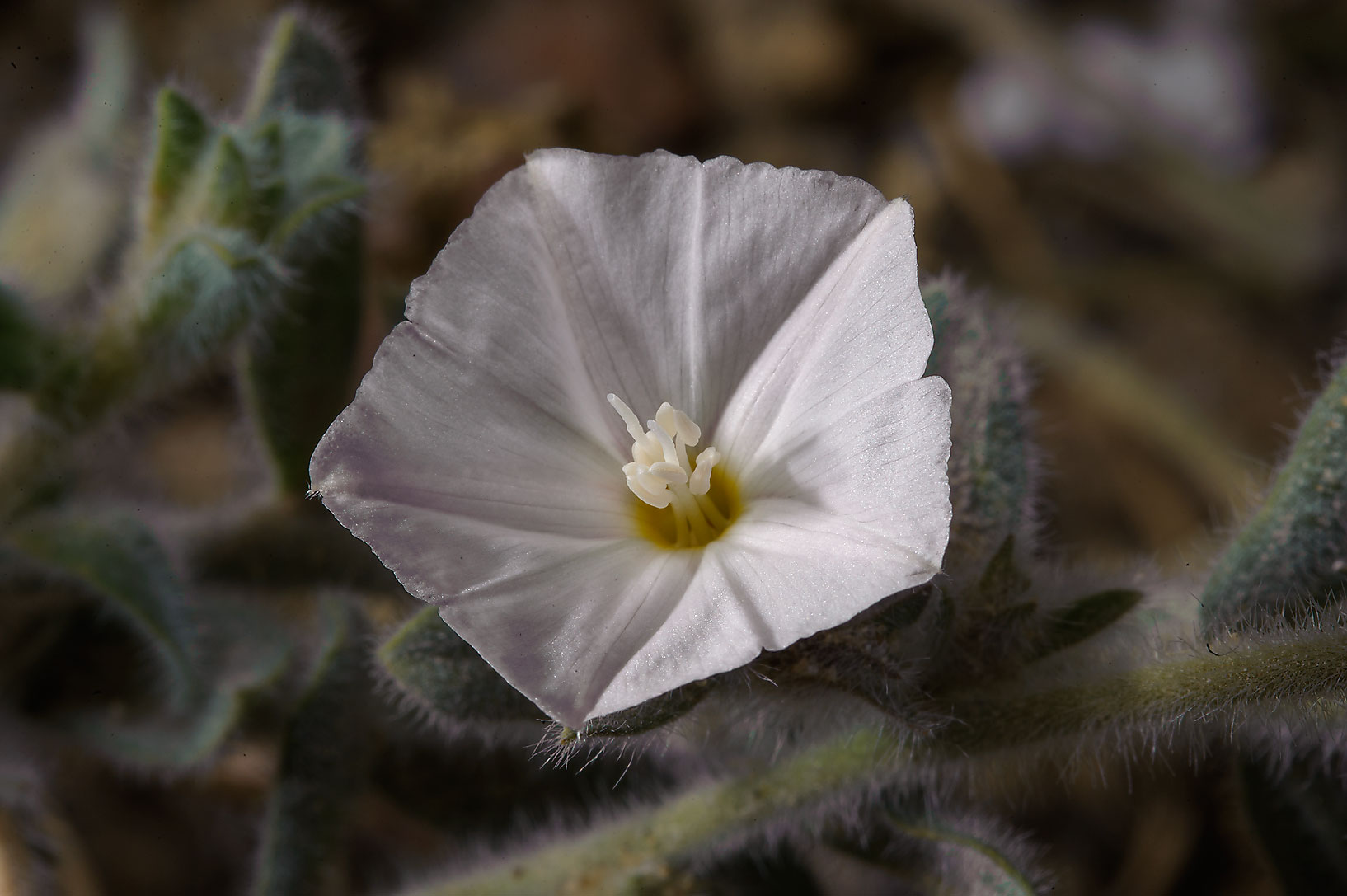 Desert species of Morning glory (Convolvulus...of Salwa Rd. in south-western Qatar