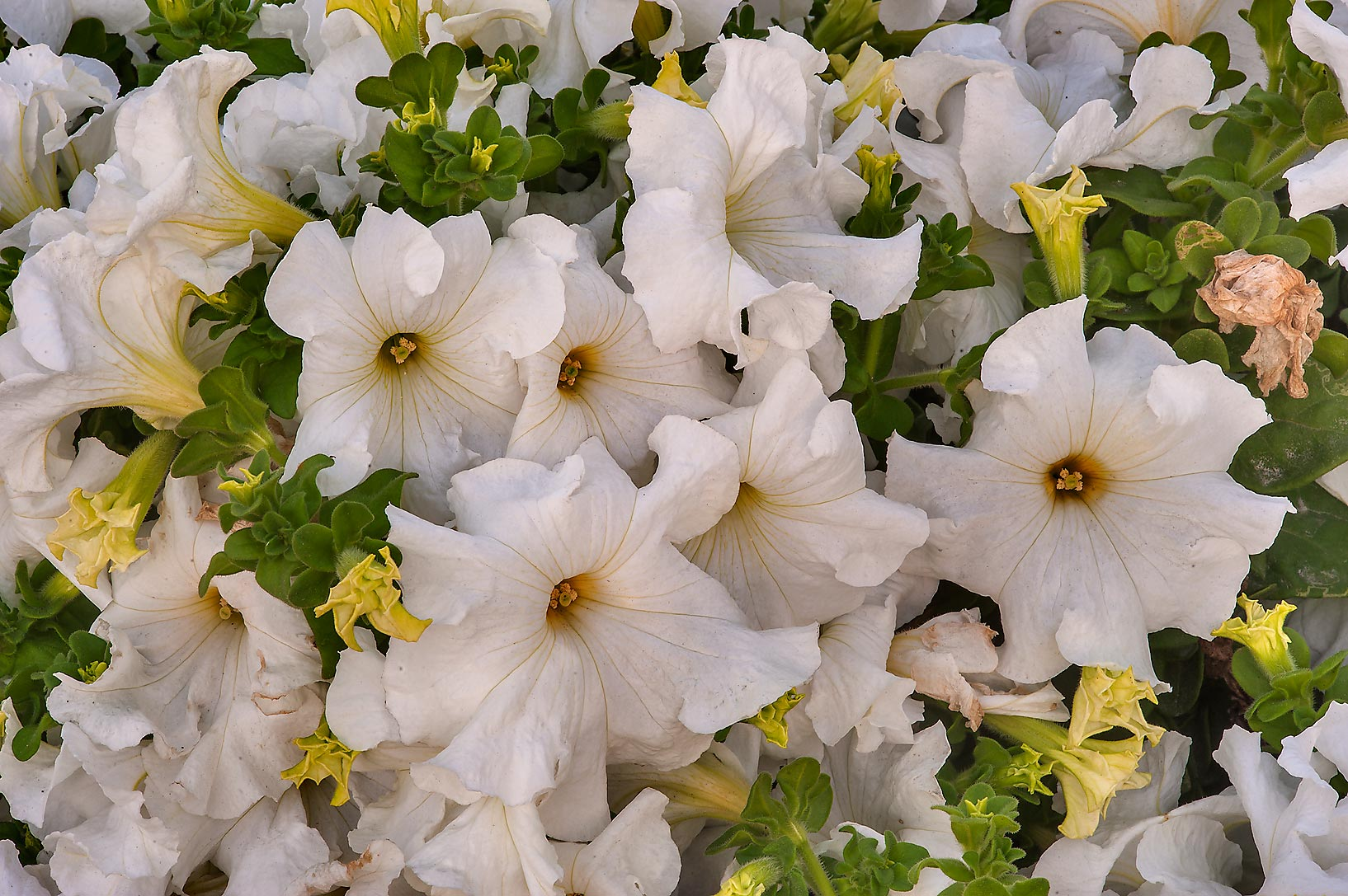 Close up of white petunia flowers Corniche Promenade. Doha, Qatar