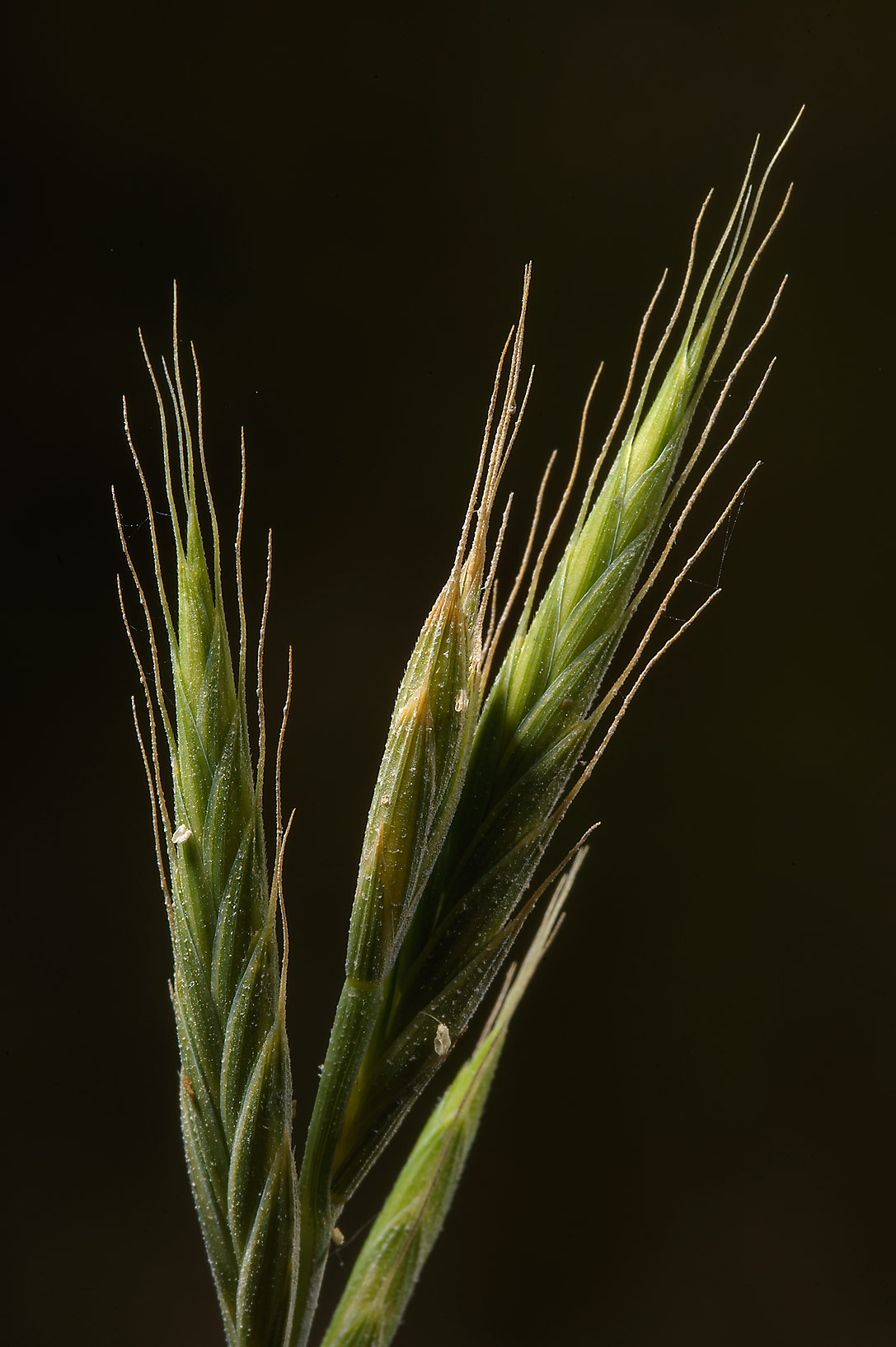 Spikelets of purple false brome grass...Thaghab Al Majda. North-western Qatar