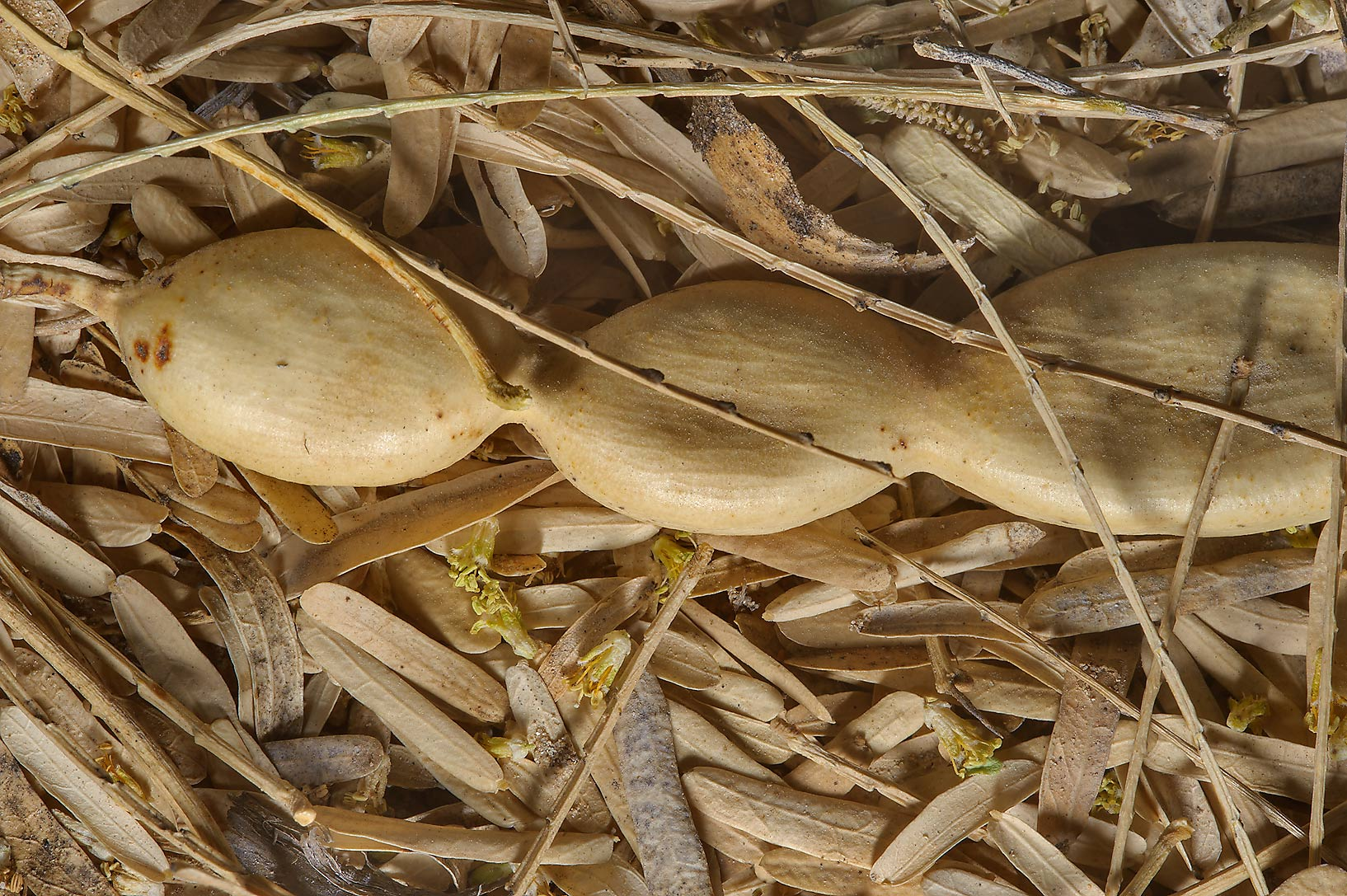 Seed pod among dry leaves fallen on the ground of...in Trainah gardens. Southern Qatar
