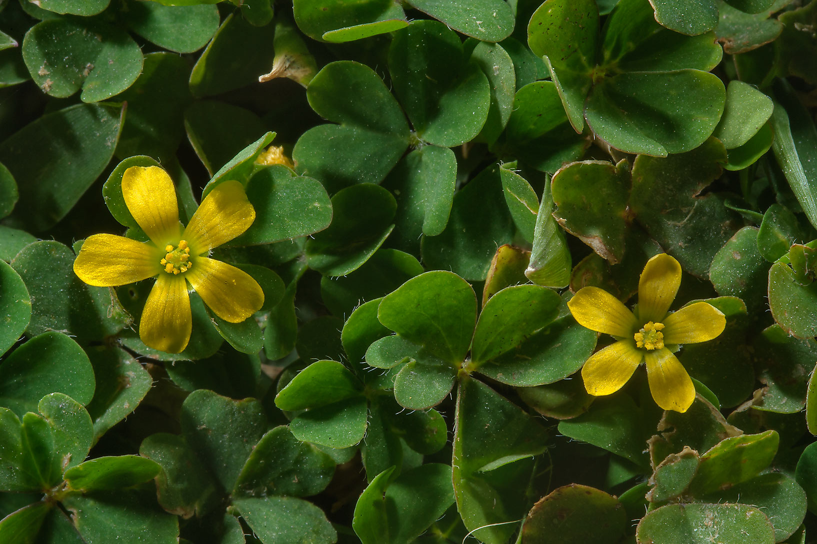 Creeping woodsorrel (Oxalis corniculata) on a lawn near Al Bidda Park. Doha, Qatar
