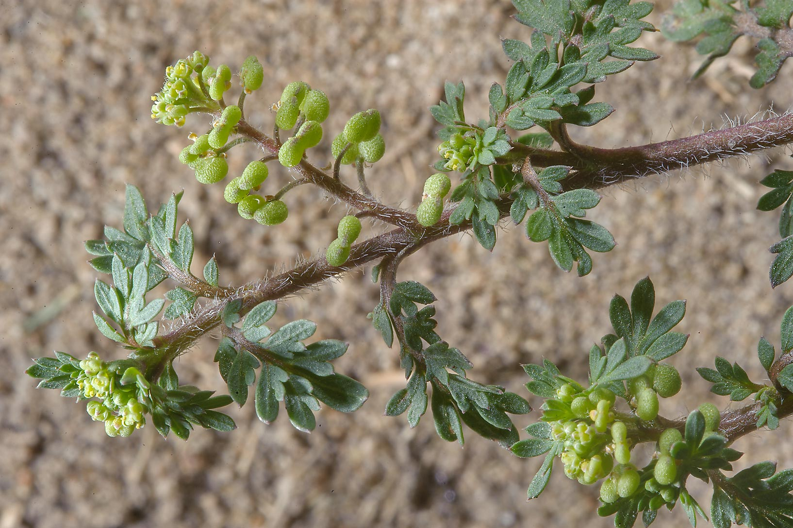 Shoot of Swine cress (Lepidium didymum) near Al Bidda Park. Doha, Qatar