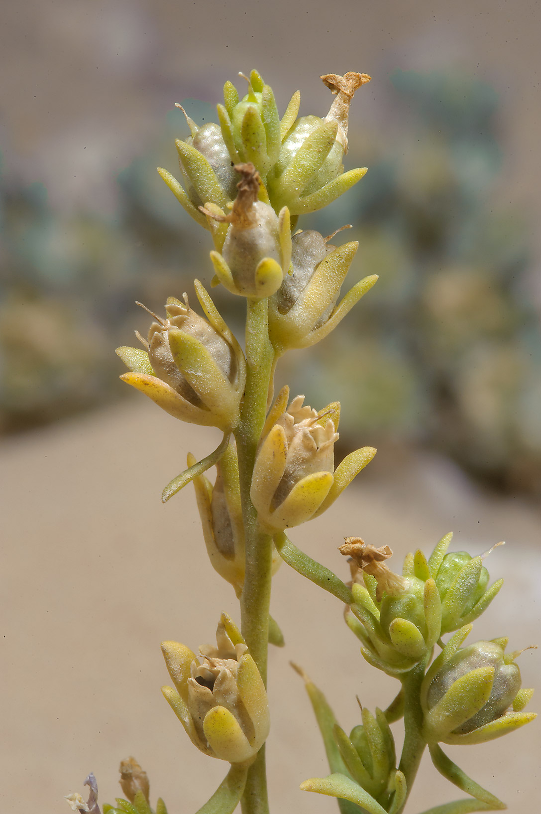 Linaria albifrons with seed capsules near Ras Laffan. Qatar