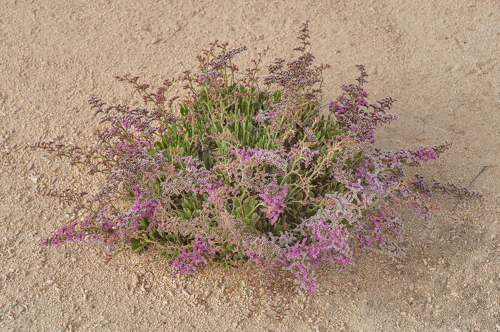 Sea lavender (Qetaif, Limonium axillare) on a...in Madinat Al Shamal area. Qatar