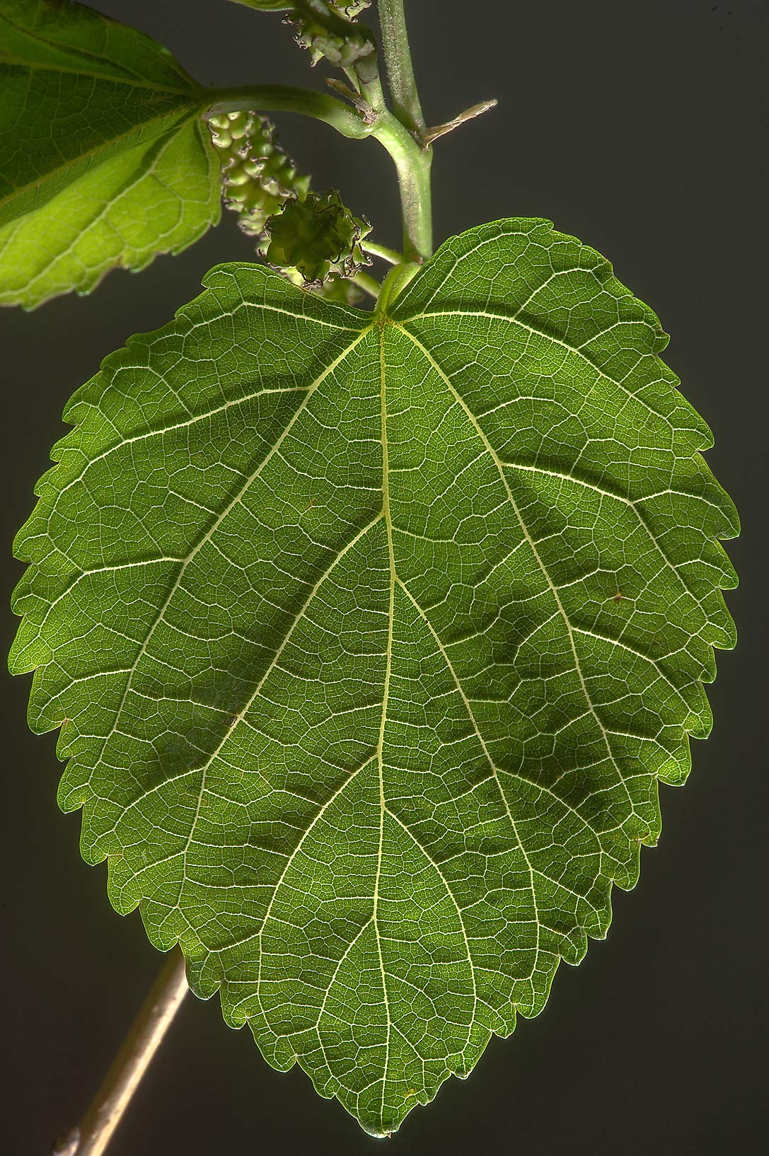 Leaf of white mulberry (Morus alba) taken from Al Sham St. in West Bay. Doha, Qatar
