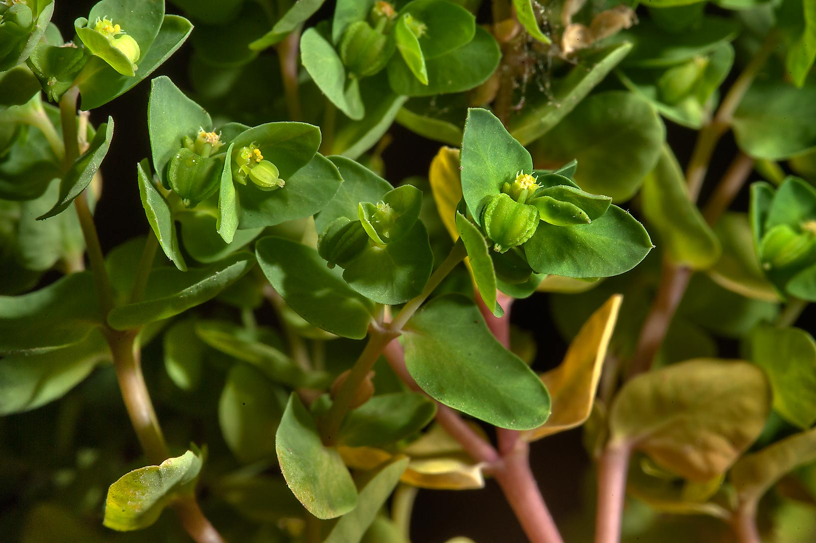 Close up of petty spurge (Euphorbia peplus) taken...St. in area of West Bay. Doha, Qatar