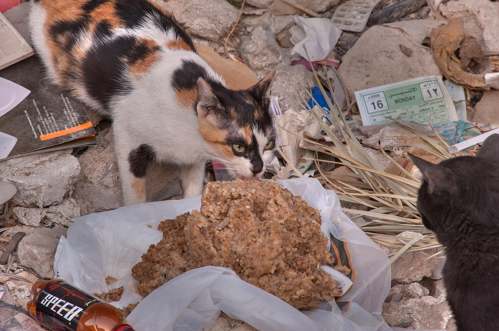 Calico cat eating buckwheat cereal on Umm Wishad St. in Musheirib area. Doha, Qatar