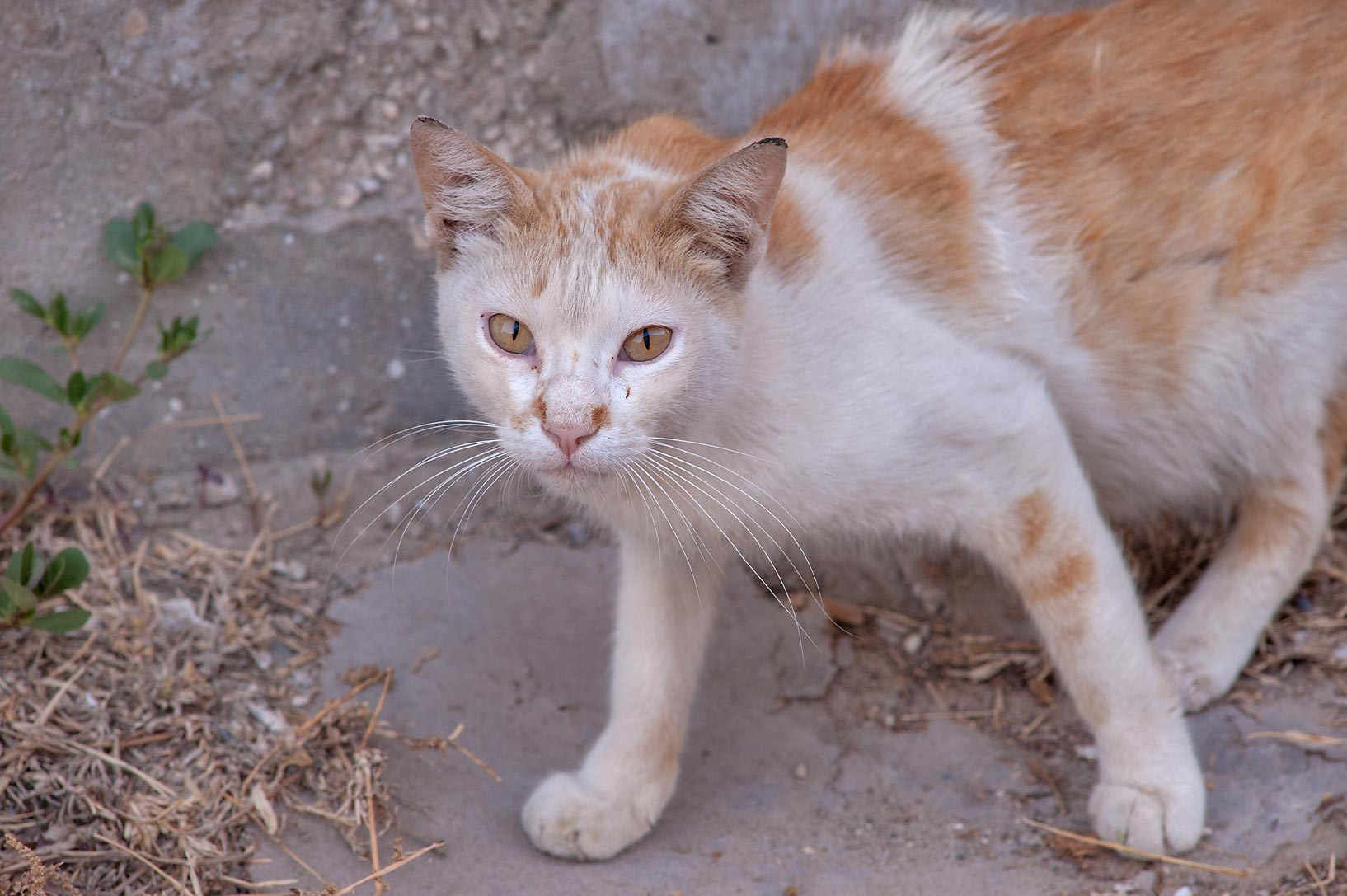 White and brown cat on Umm Wishad St. in Musheirib area. Doha, Qatar