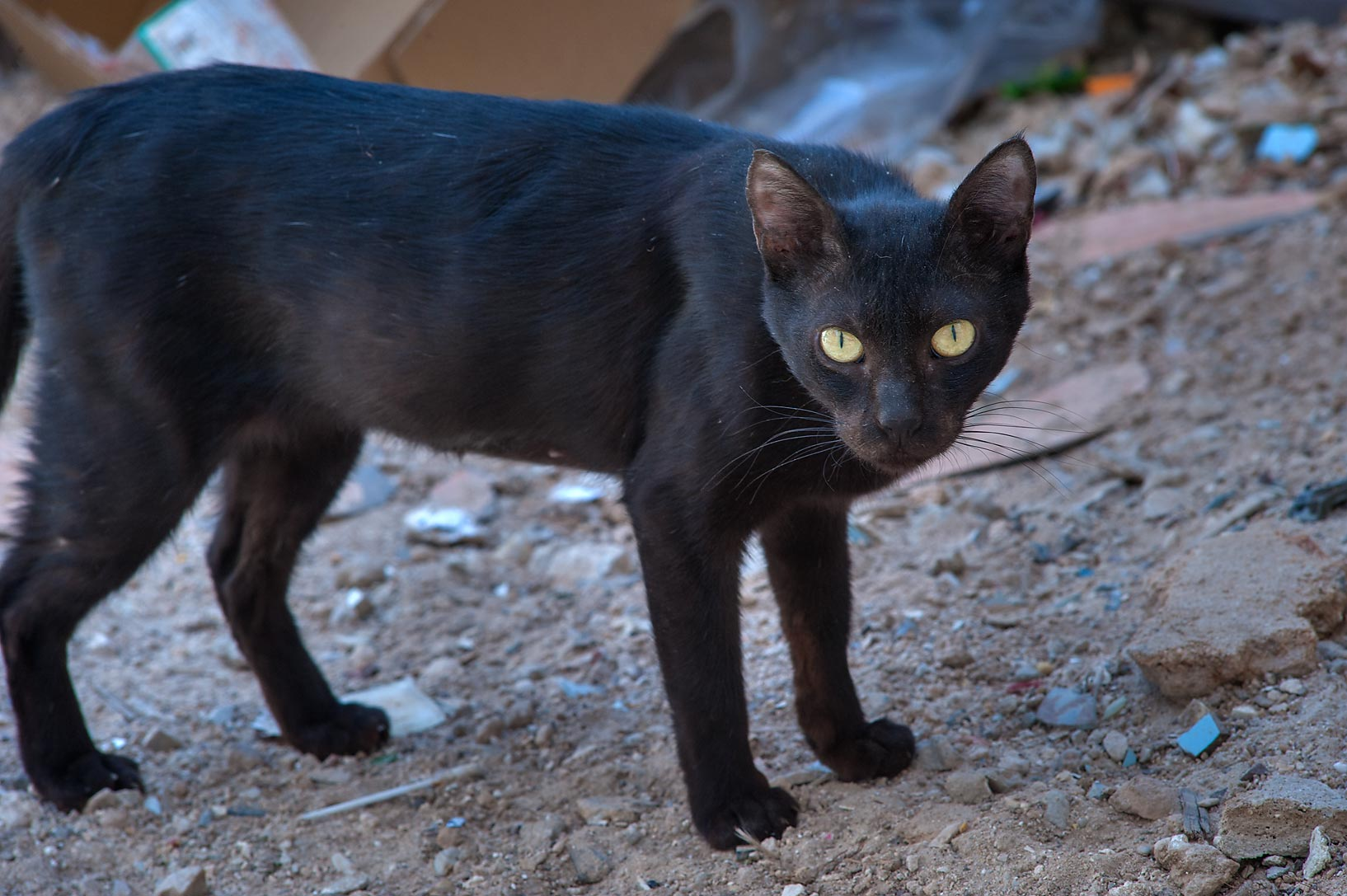 Black cat with yellow eyes near Al Najada St. in Musheirib area. Doha, Qatar