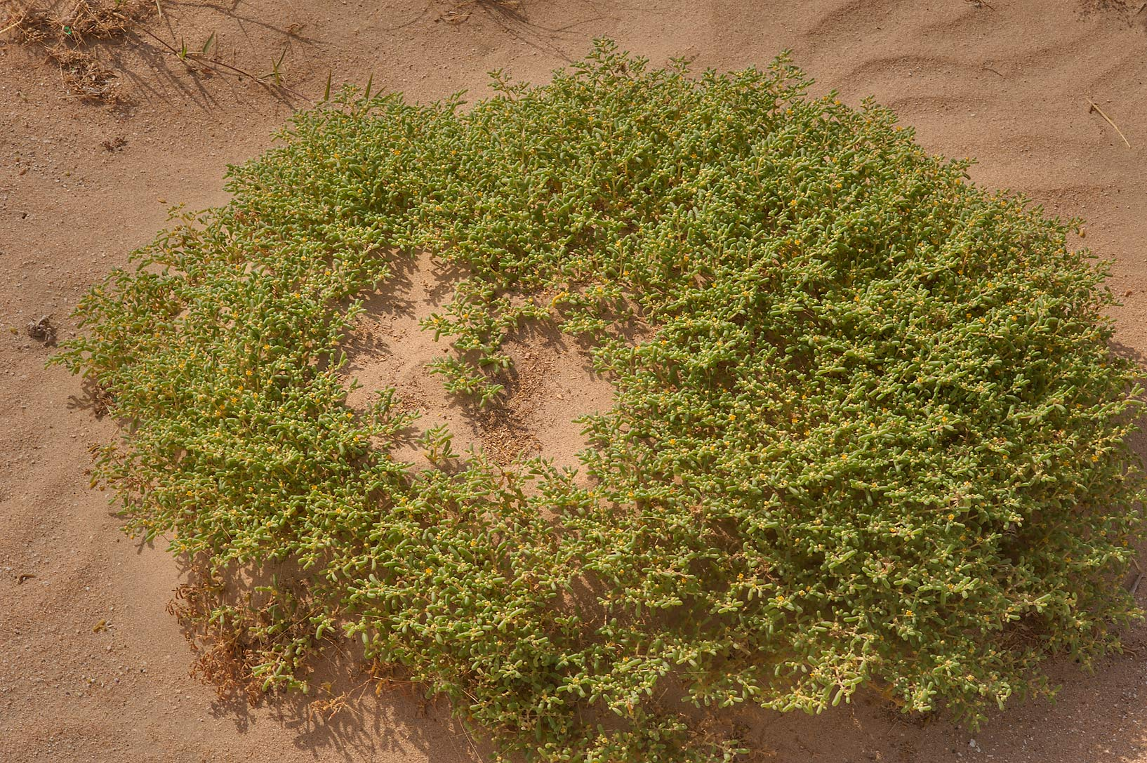 Zygophyllum simplex (Tetraena simplex, harm...Salwa Rd., south-west from Doha. Qatar