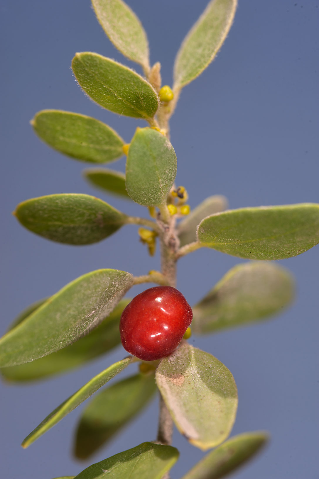 Red berry on a vine of Cocculus pendulus (local...Kiranah), south-west from Doha. Qatar