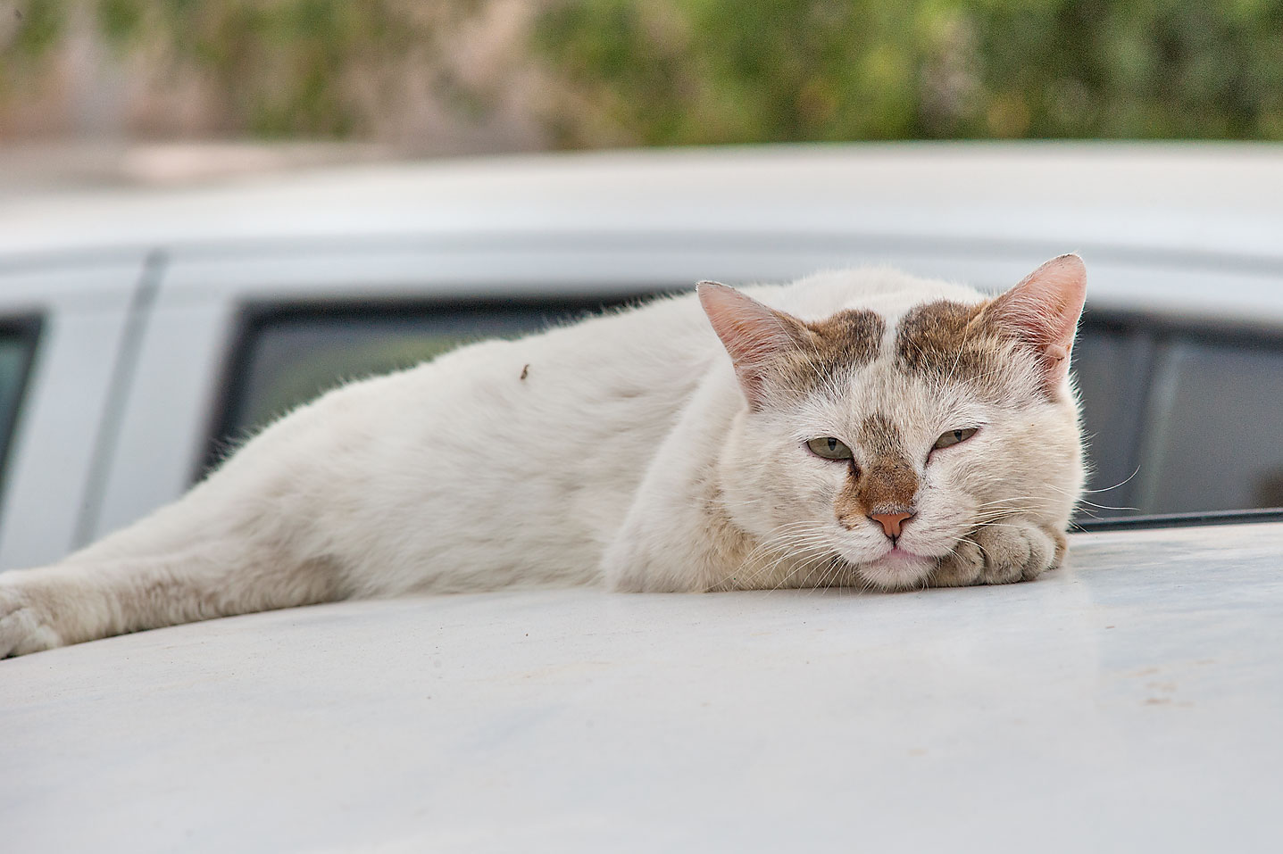 Whitish cat resting on a car on Umm Wishad St. in Musheirib area. Doha, Qatar