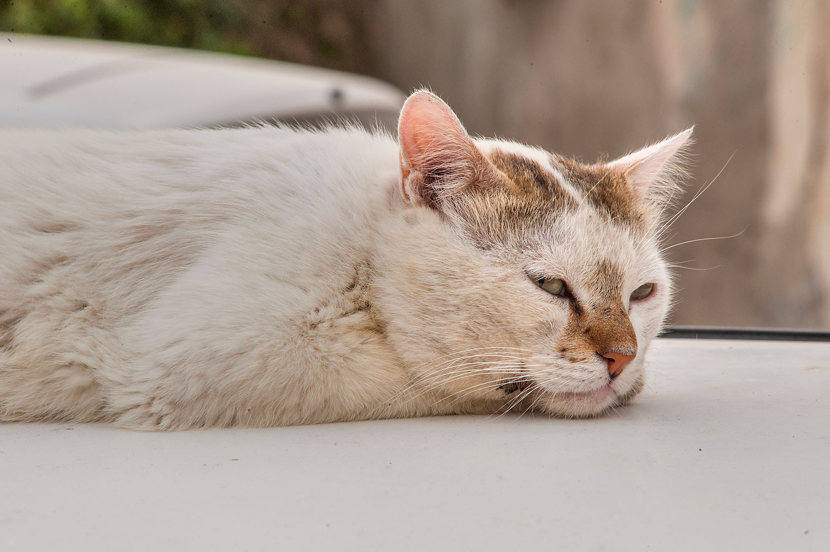 Whitish cat dreaming on a car on Umm Wishad St. in Musheirib area. Doha, Qatar