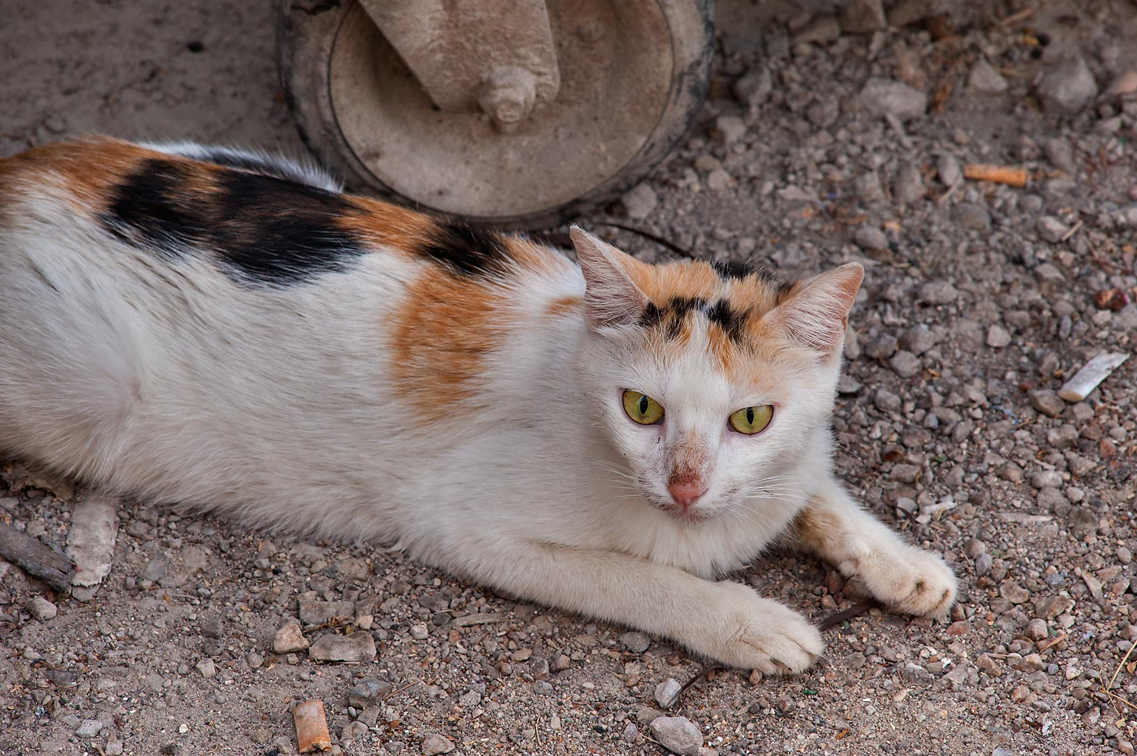 Calico cat guarding a dumpster near Umm Wishad St. in Musheirib area. Doha, Qatar