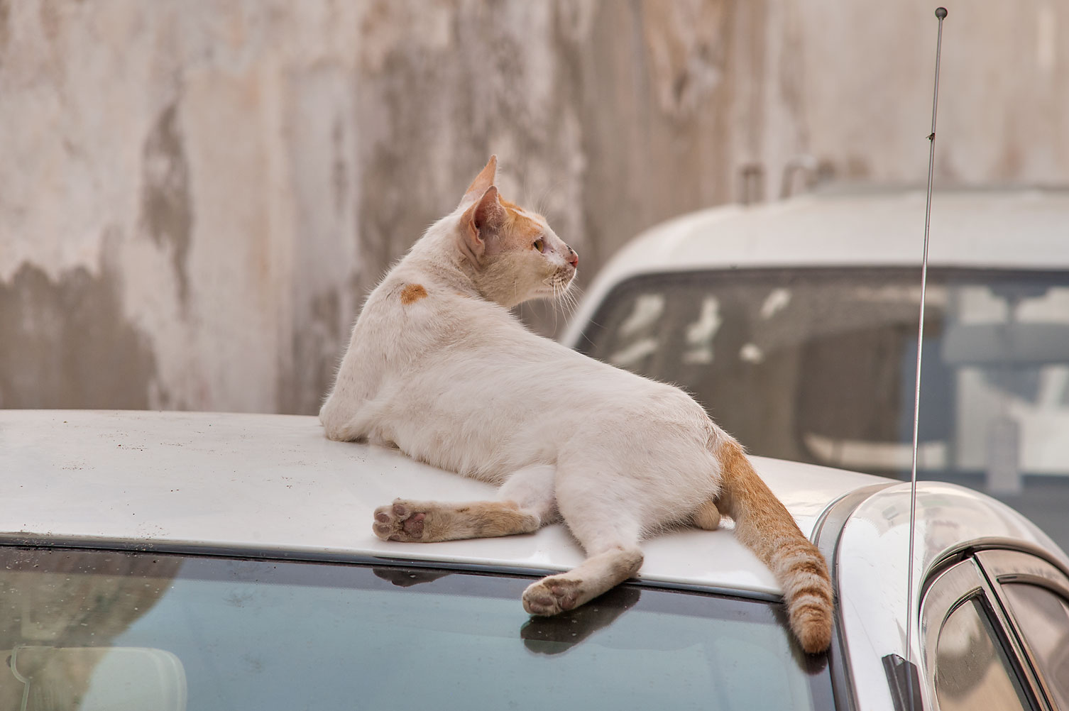 Street cat resting on a white car on Umm Wishad St. in Musheirib area. Doha, Qatar