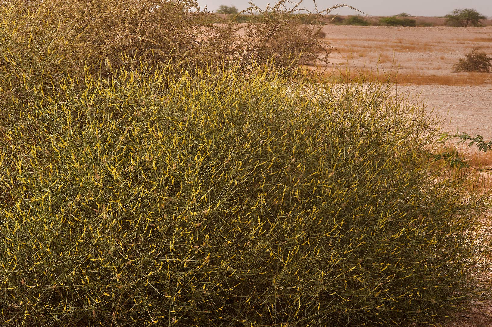 Bush of Ochradenus baccatus (local names qardi...of Al Magdah farms in northern Qatar