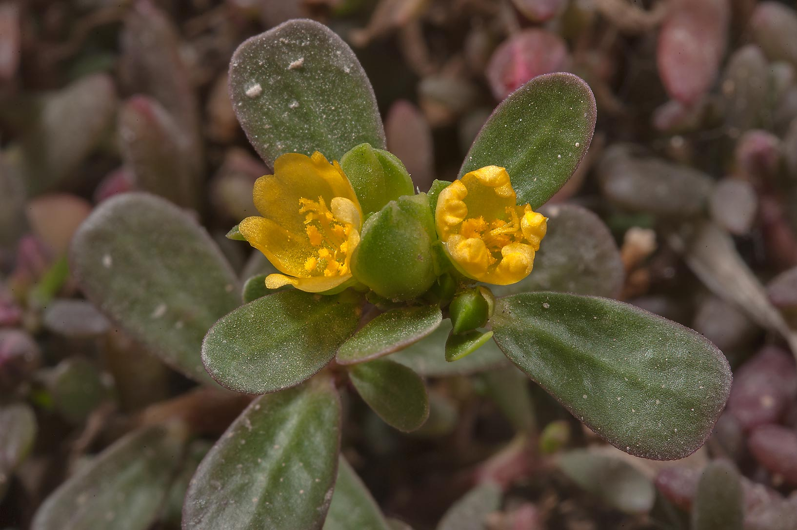 Common Purslane (wild portulaca, Portulaca...Markhiya St. in West Bay. Doha, Qatar