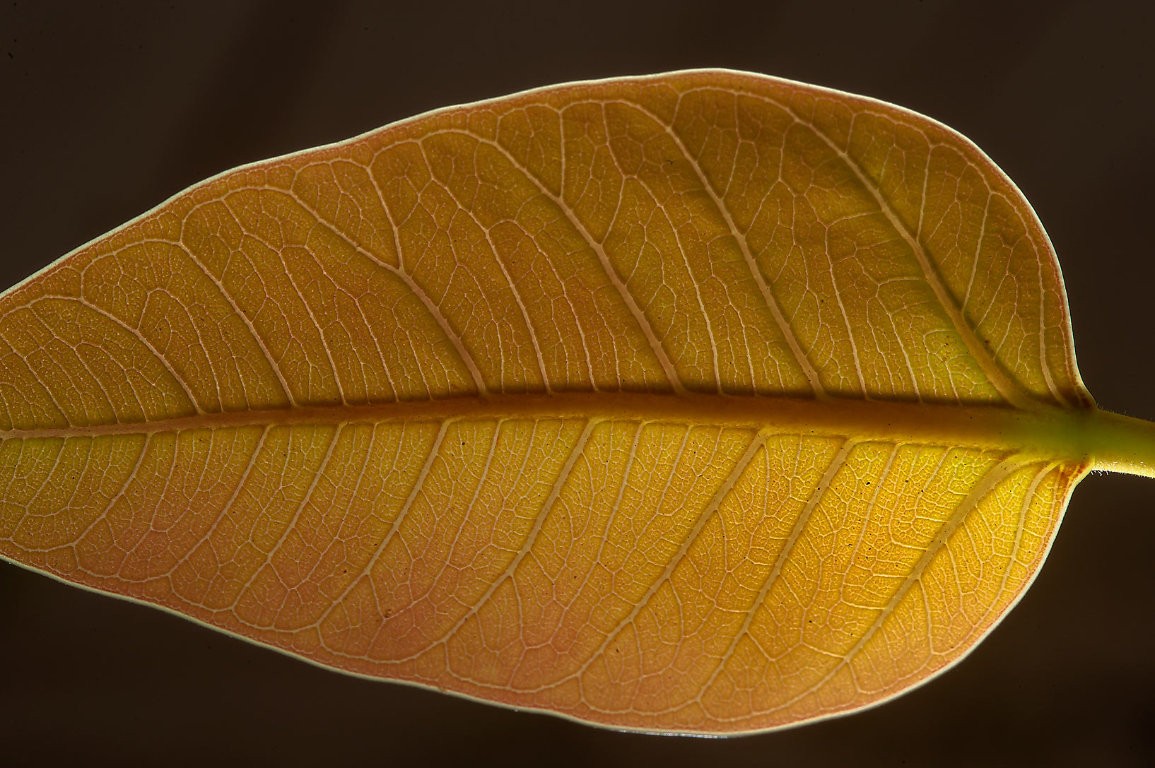 Leaf of Banyan (Ficus benghalensis) near Al Istiqlal St. near West Bay. Doha, Qatar