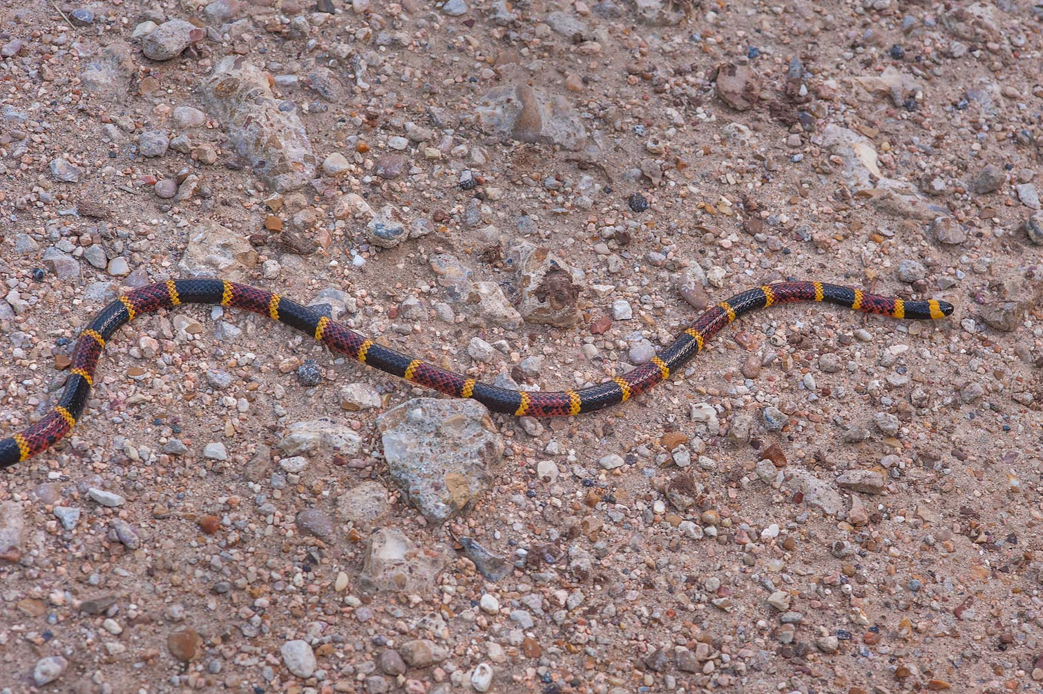Coral snake near a pond in Washington-on-the-Brazos State Historic Site. Washington, Texas