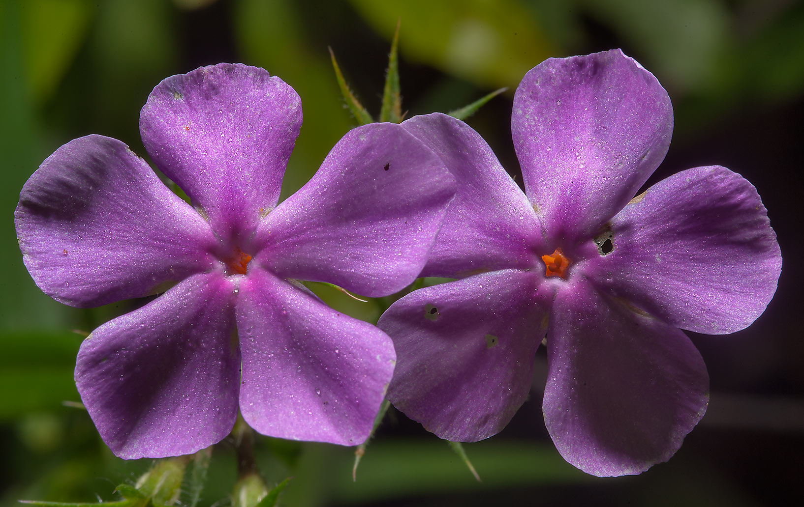 Pink phlox flowers in Sam Houston National Forest...Lake Creek Loop Trail. Richards, Texas
