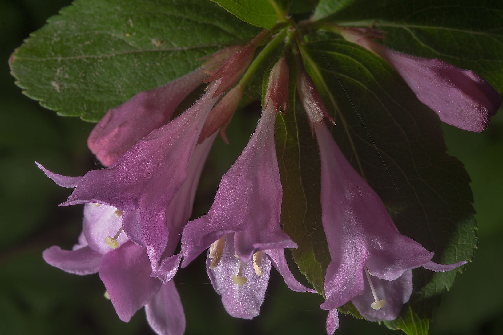 Early Weigela (Weigela praecox) in Botanic...Institute. St.Petersburg, Russia