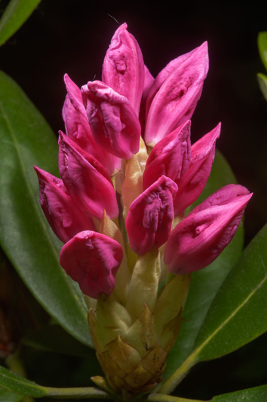Flower buds of Rhododendron makinoi in Botanic...Institute. St.Petersburg, Russia