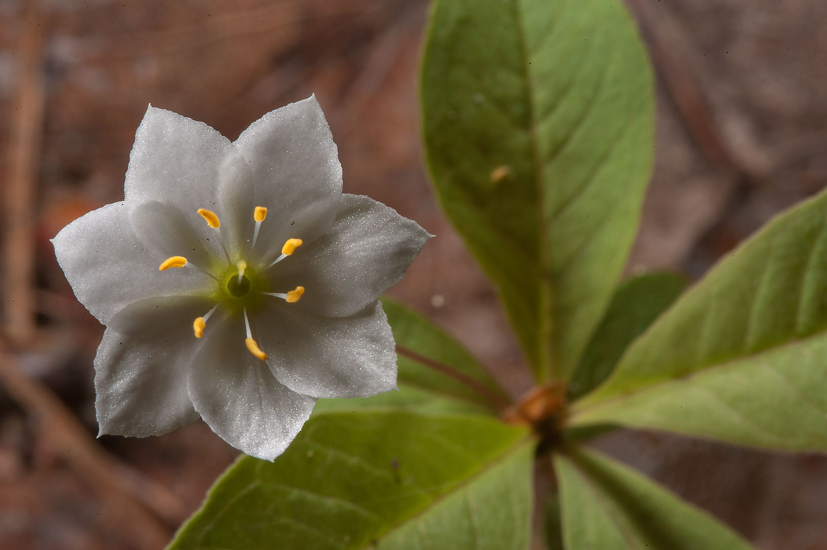 Blooming Arctic starflower (Trientalis europaea...north-west from St.Petersburg, Russia