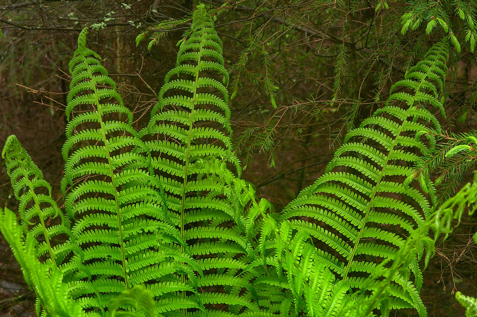 Tall Ostrich fern (Matteuccia struthiopteris...north from St.Petersburg. Russia