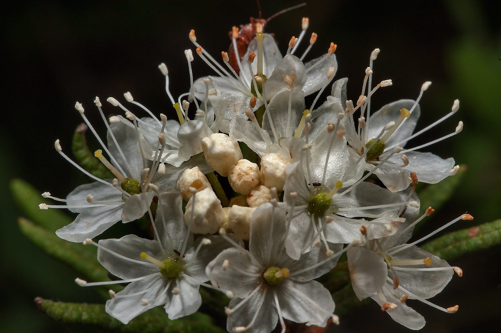 Close up of flowers of Labrador Tea (Ledum...north from St.Petersburg. Russia