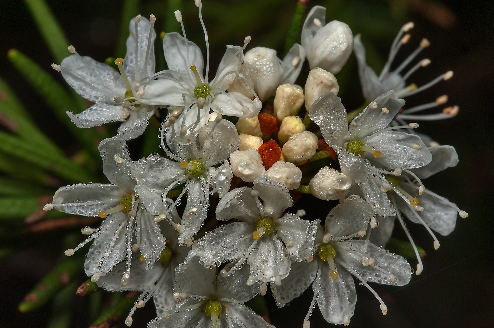Flower buds of Labrador Tea (Ledum palustre) in...north from St.Petersburg. Russia