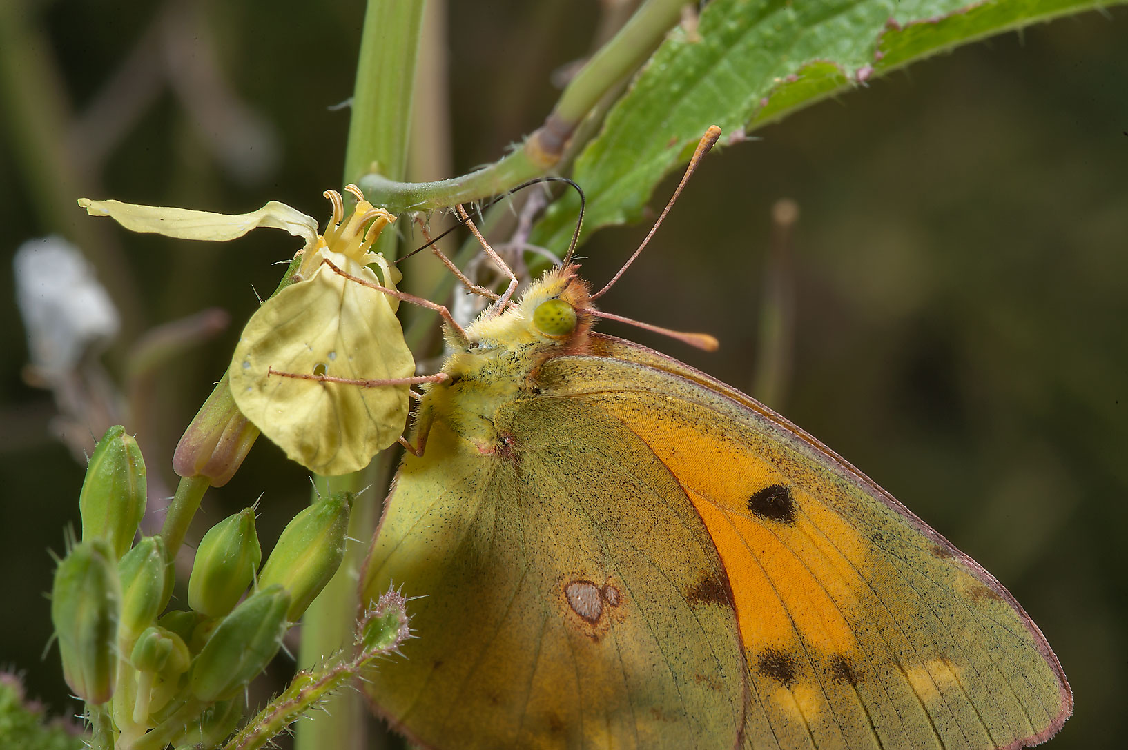 Clouded Yellow butterfly (Colias croceus) on a...Irkaya) Farms. South-western Qatar