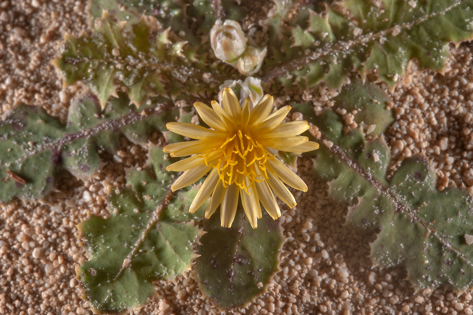 Launaea capitata (local names huwa, hazan) on...of Jebel Fuwairit. Northern Qatar