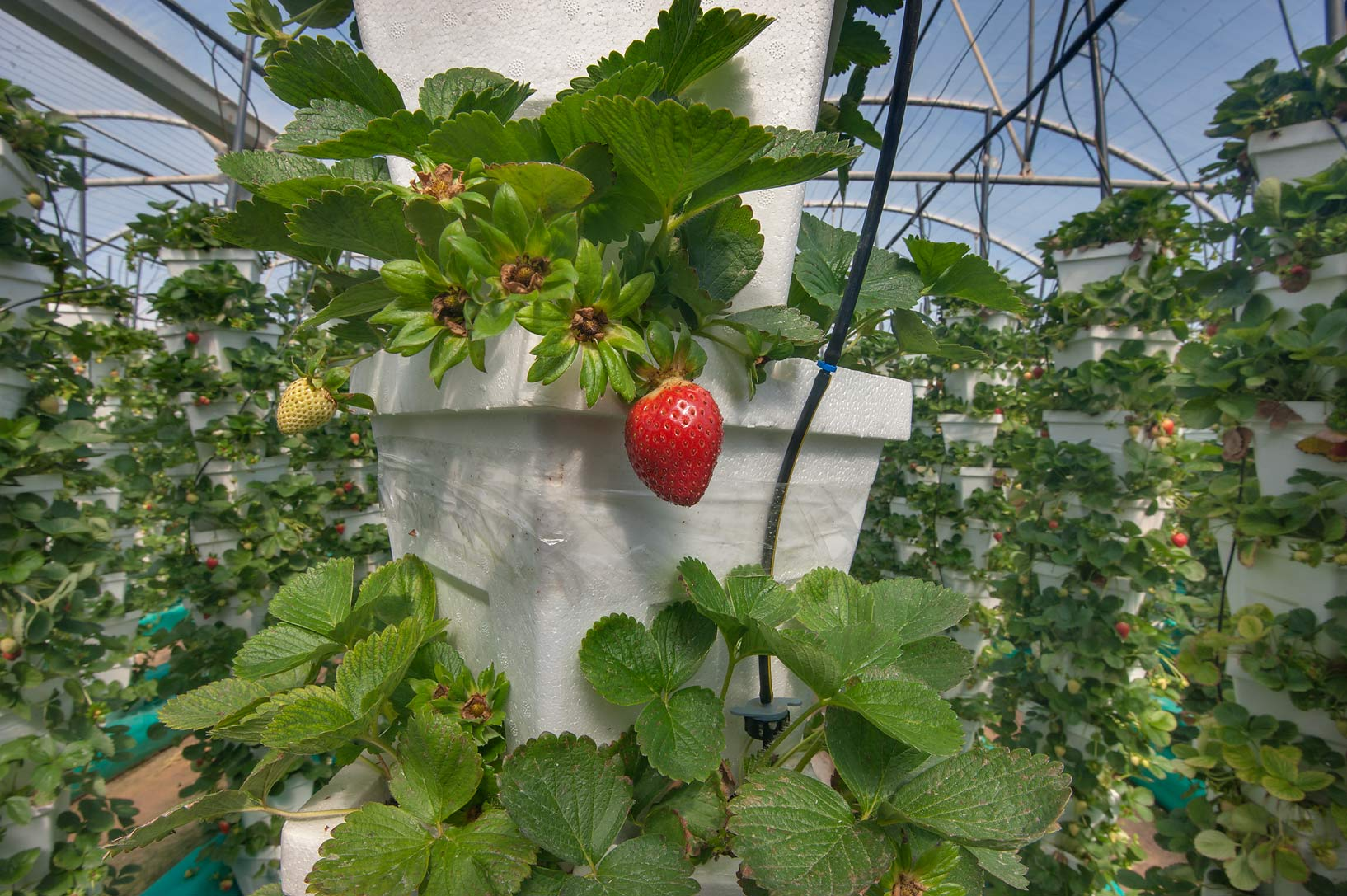 Fruit of strawberry growing on hydroponics in a greenhouse in Sulaiteen Farm. Doha, Qatar