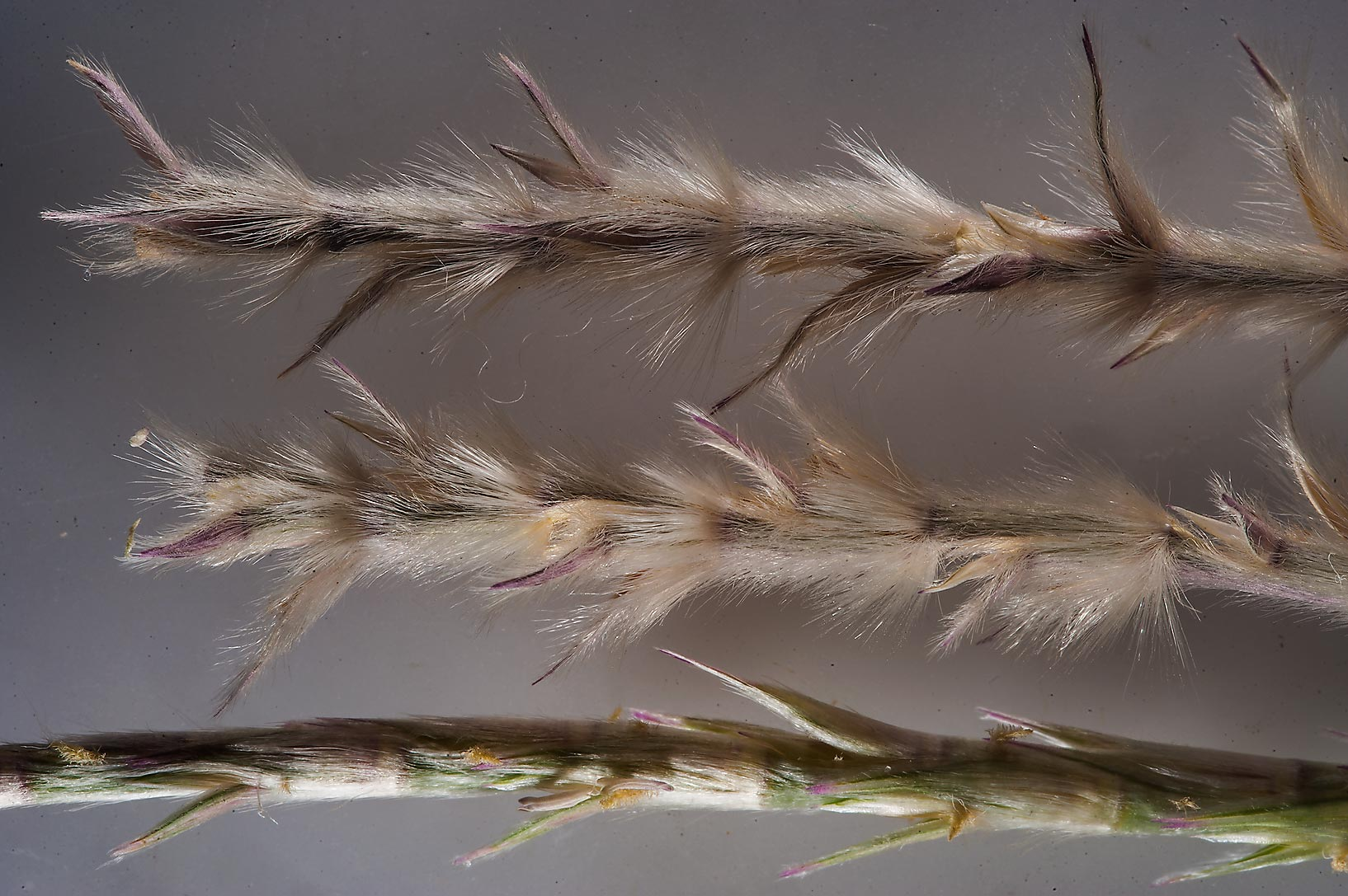 Spikelets of Sewan grass (Lasiurus scindicus) on...19 in Al Kharaitiyat area. Doha, Qatar