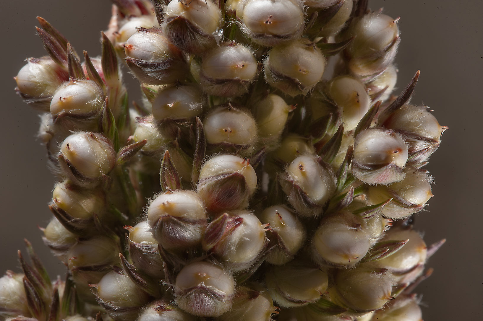 Large grains in globose spikelets of Sorghum bicolor in Al Luqta area. Doha, Qatar