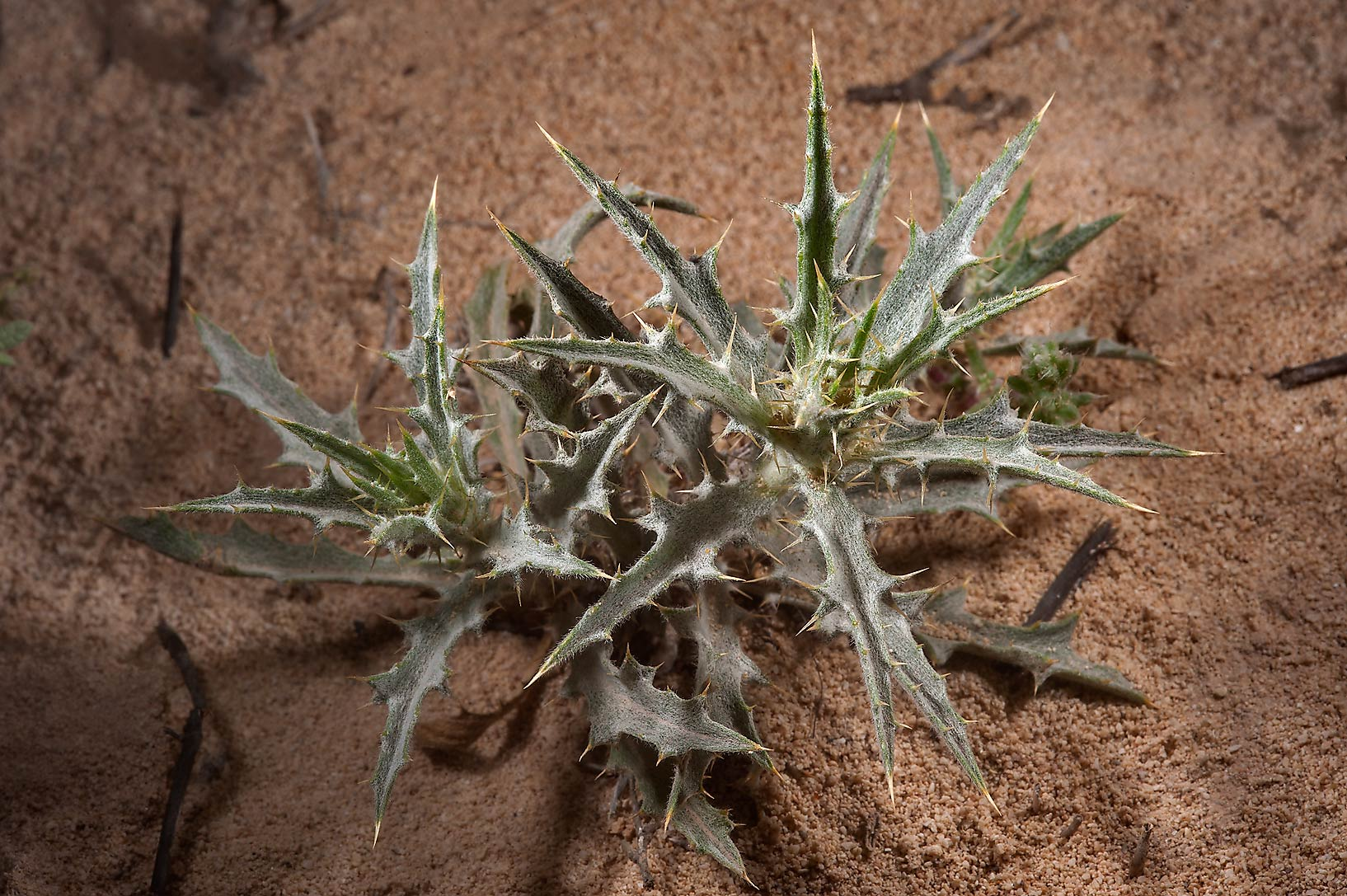 Yellow distaff-thistle (Atractylis carduus, local...of Jebel Fuwairit. Northern Qatar