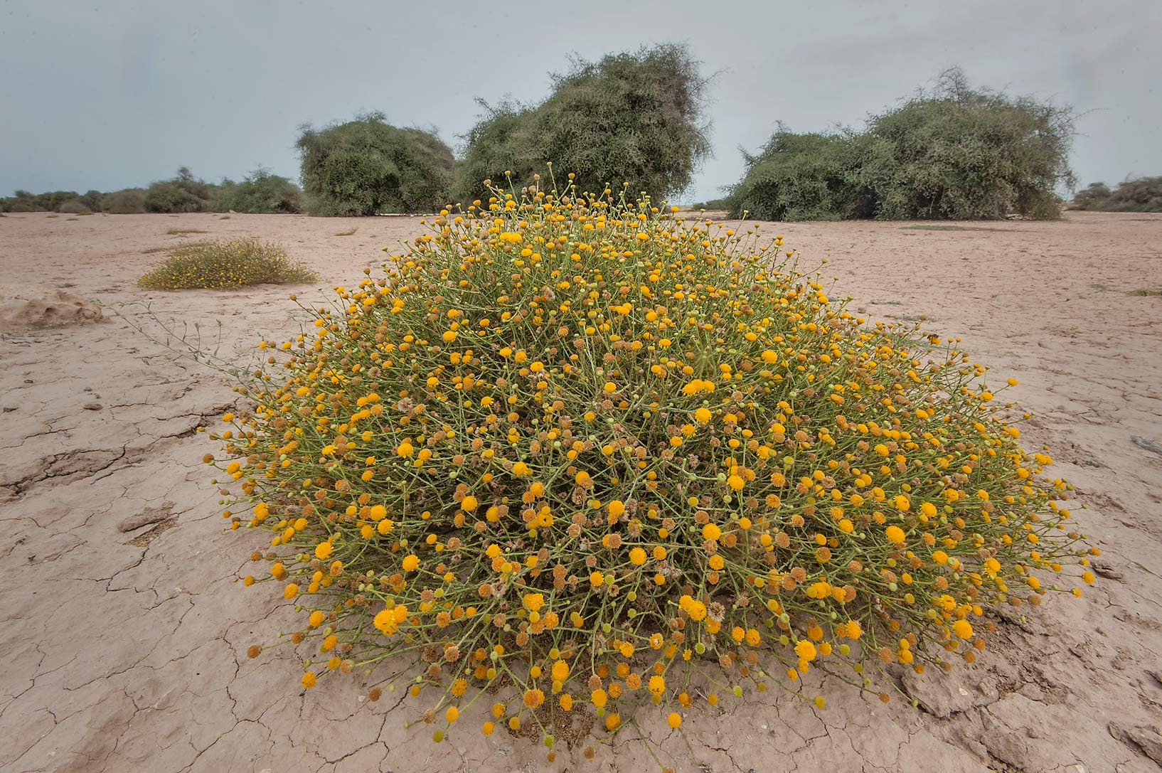 Large bush of Pulicaria undulata (local names...Al Numan) near Zubara. Northern Qatar