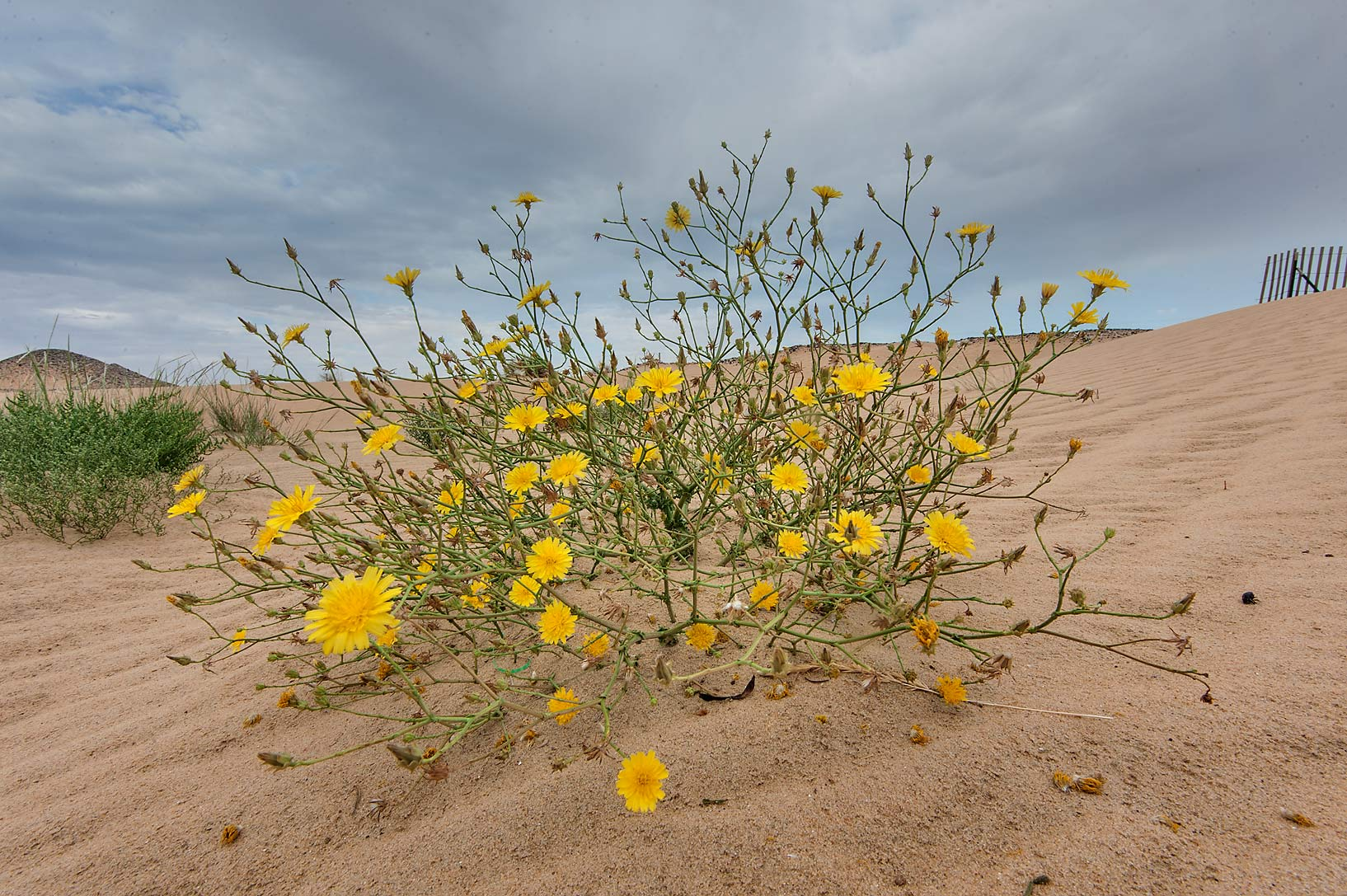 Blooming Launaea mucronata (local name Huwa...in area of Khashem Al Nekhsh. Qatar