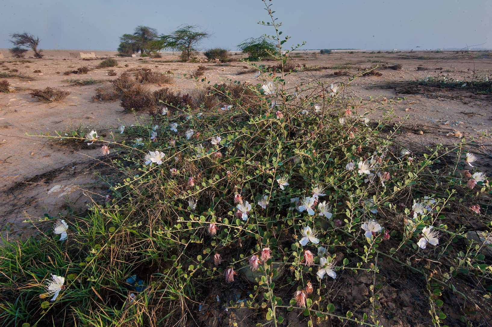 Caper plant (Capparis spinosa) in area of Uwaynat...Water Well) near Simaisma. Qatar