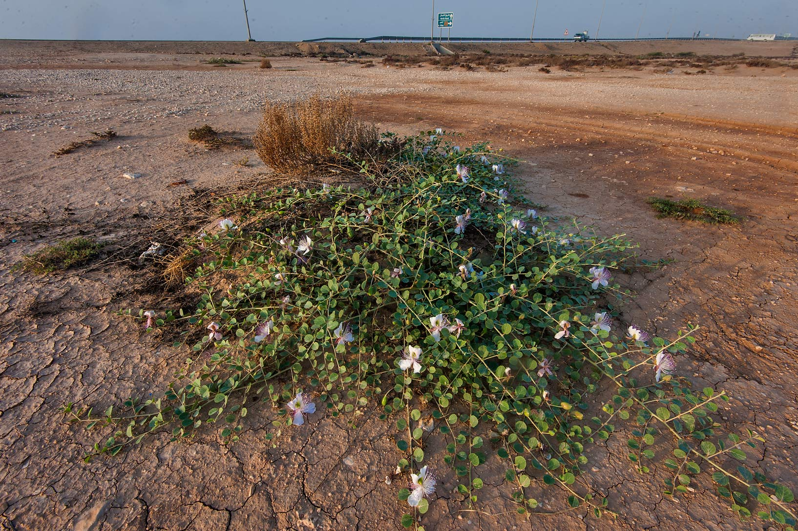 Caper plant (Capparis spinosa) in a depression in...Water Well) near Simaisma. Qatar